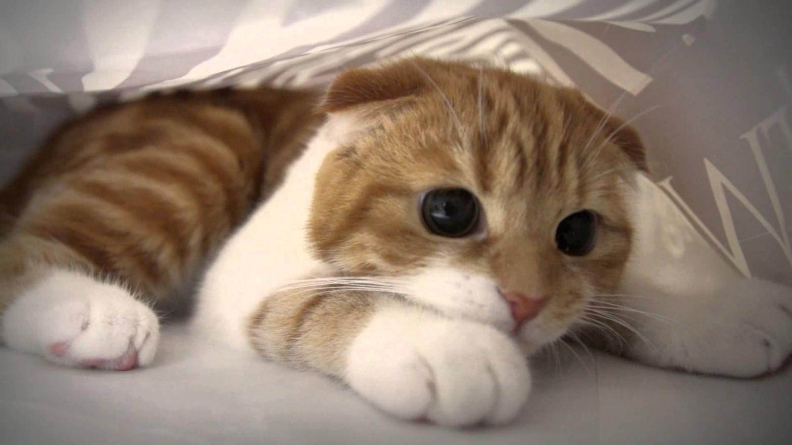 20 adorables raisons d adopter un munchkin le chat qui reste b b toute sa vie web wamiz. Black Bedroom Furniture Sets. Home Design Ideas