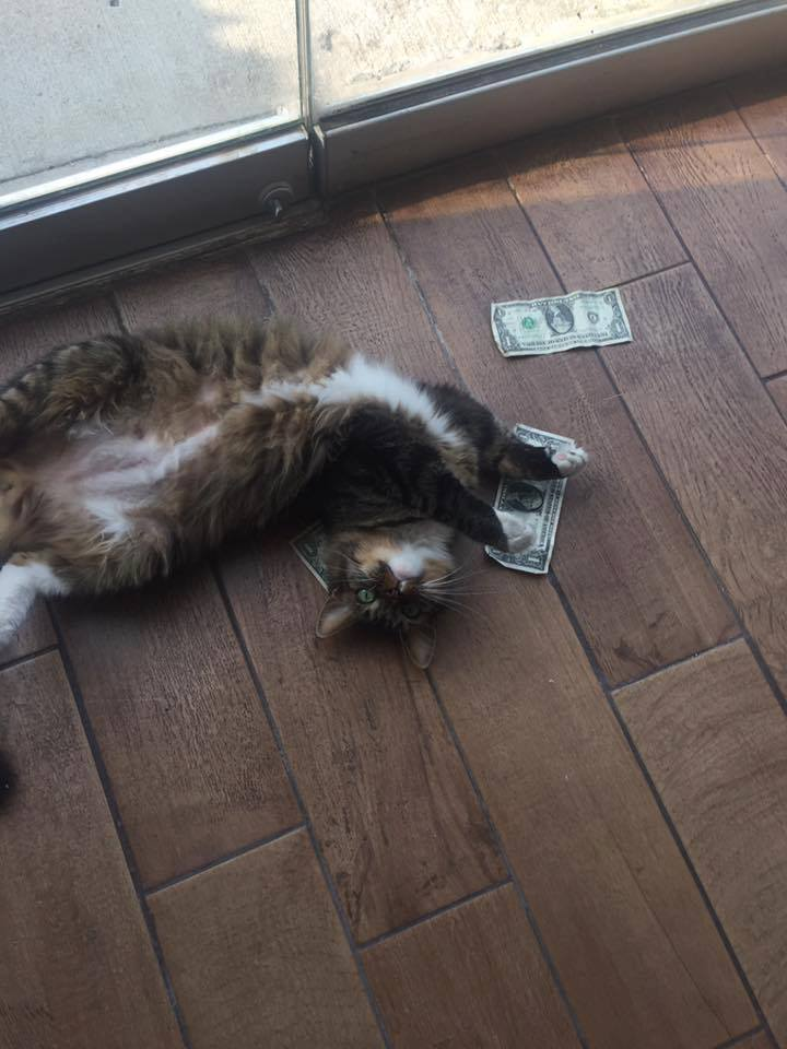 chat billets cashnip kitty