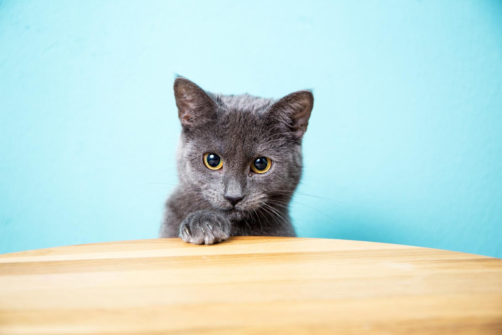 chartreux chat caché