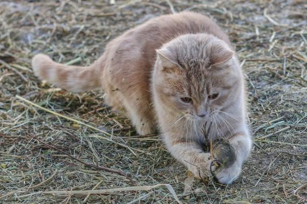 chat qui chasse une proie