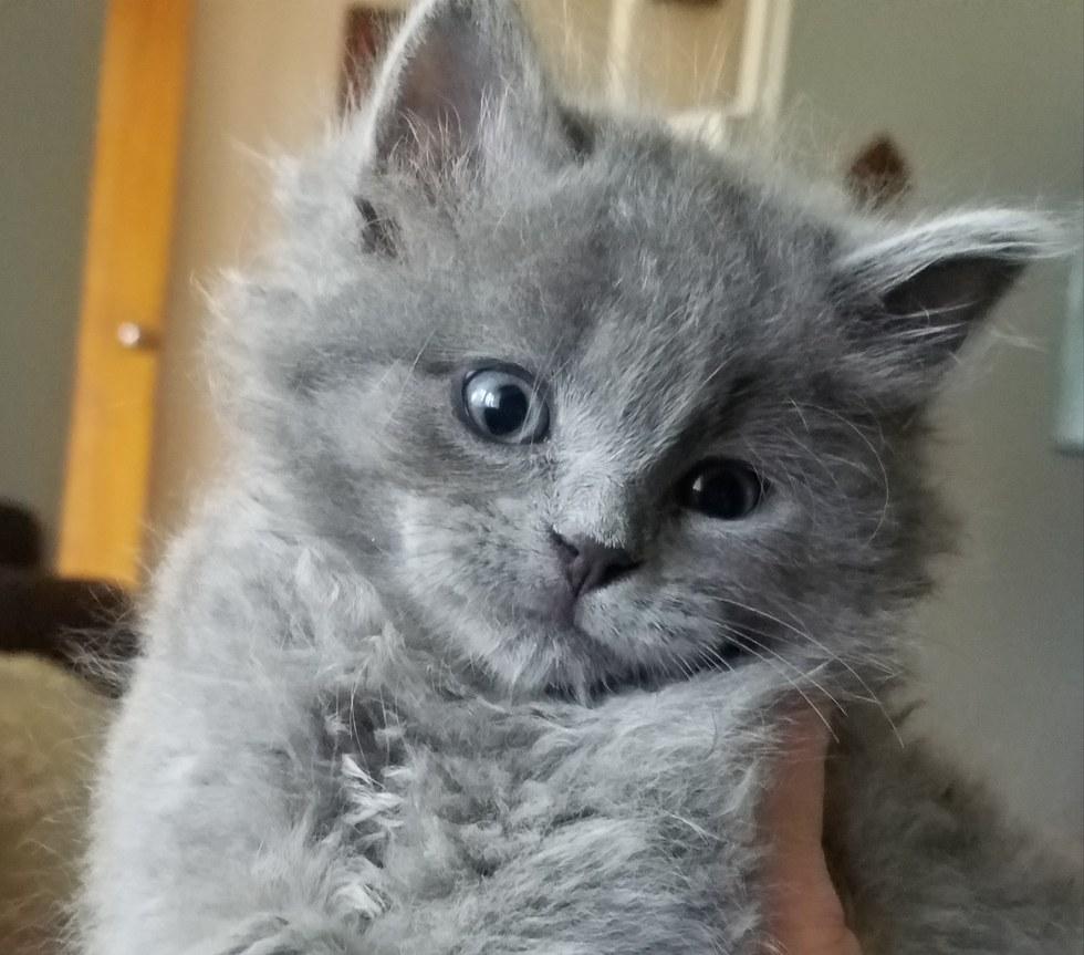 chaton gris trop mignon