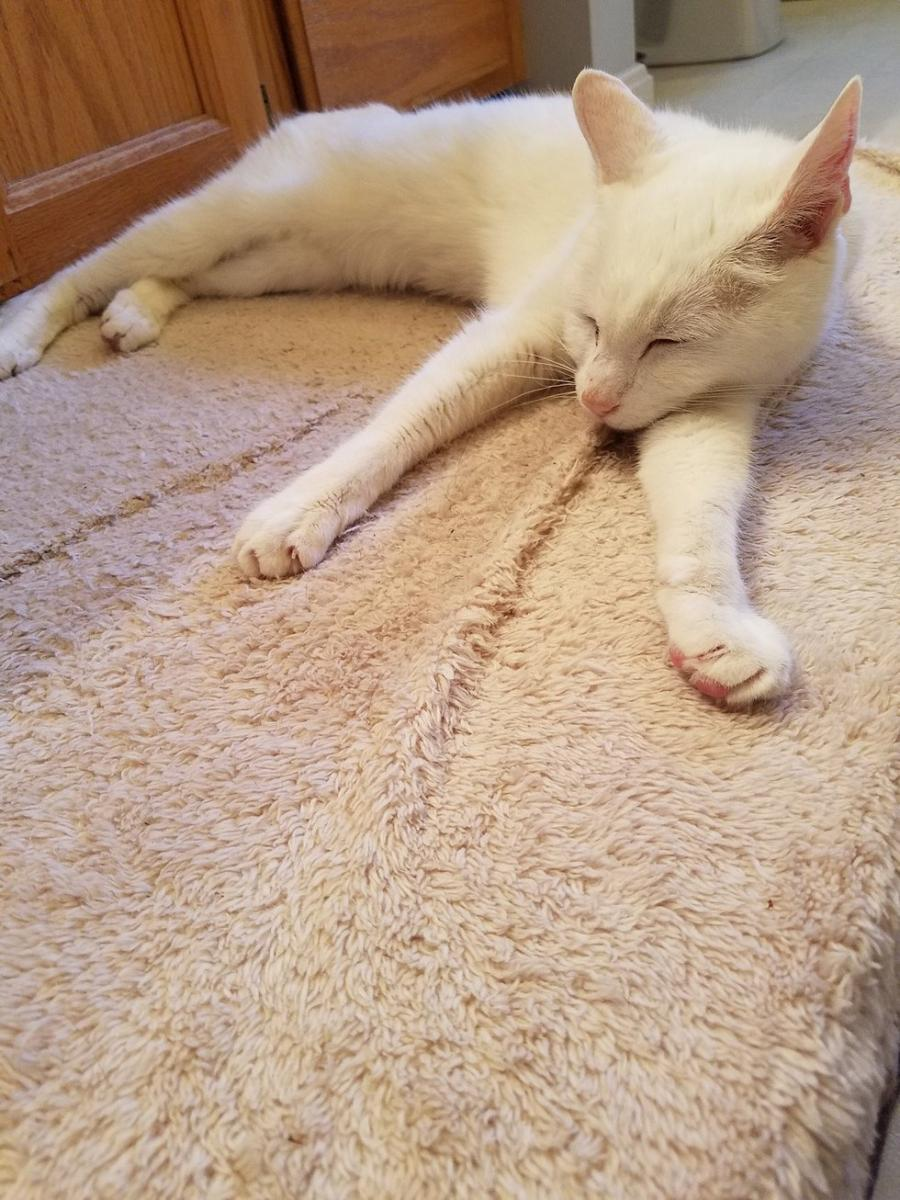 chat blanc sieste
