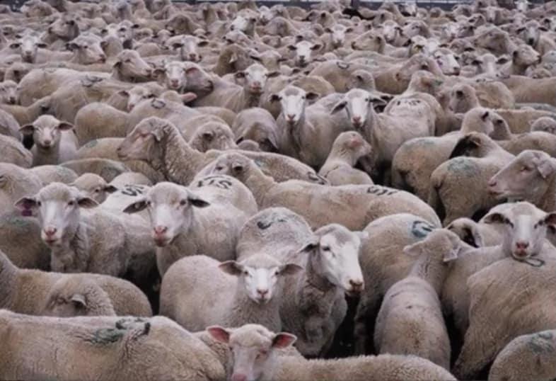 chat caché mouton