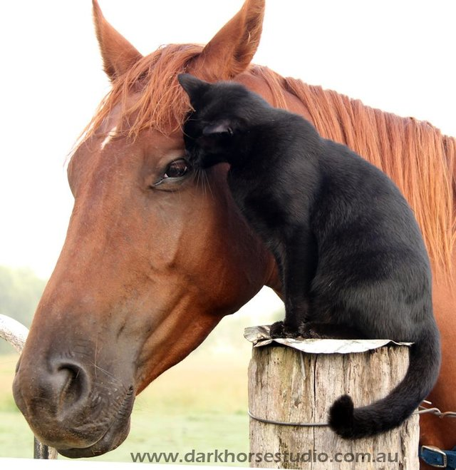 image cheval et chat