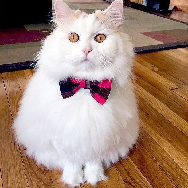 chat blanc mignon