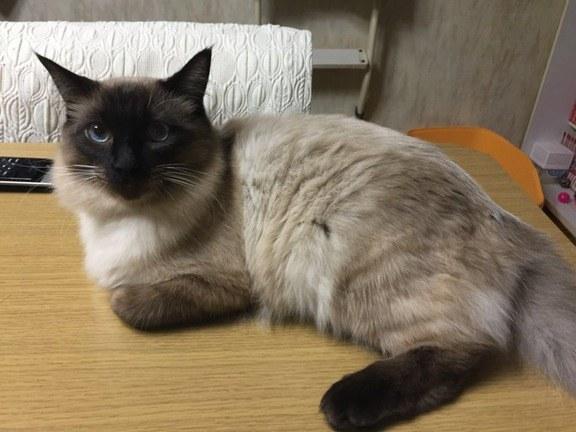 chat beau blanc