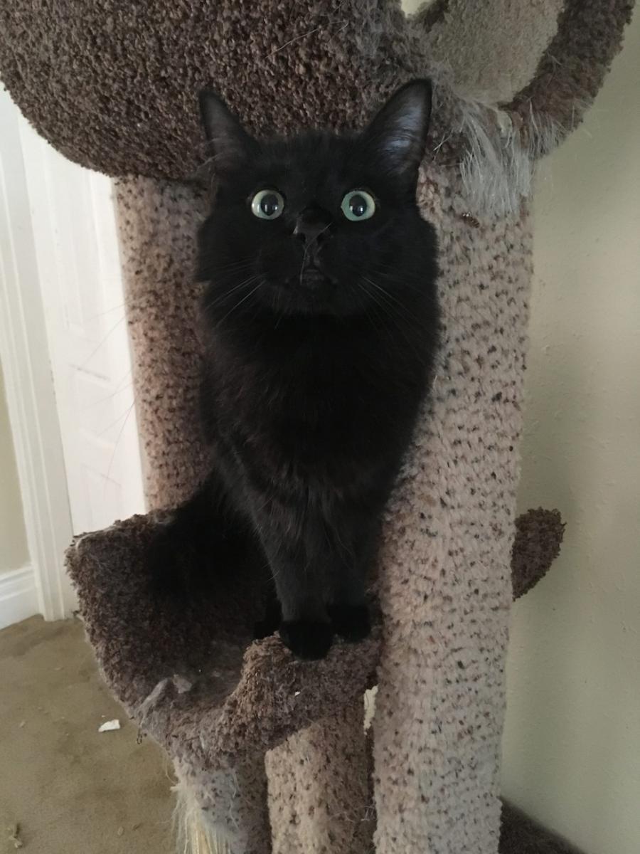 grand chat noir