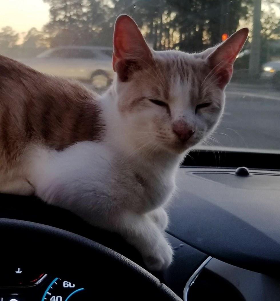 chat roux voiture