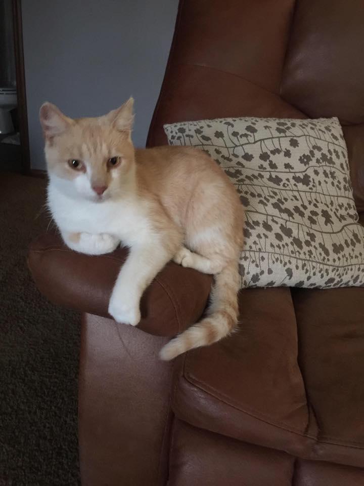 chat roux canapé