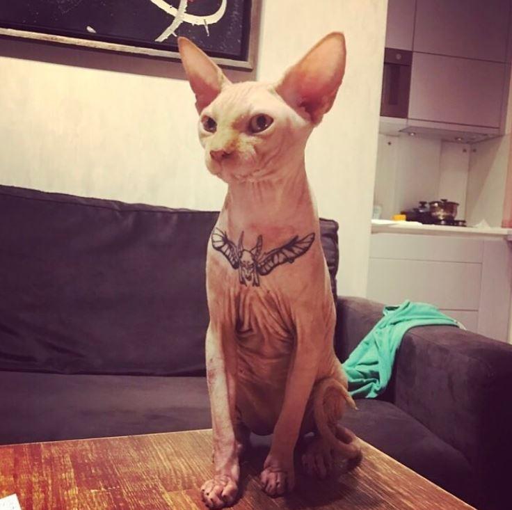 chat sphynx tatoué