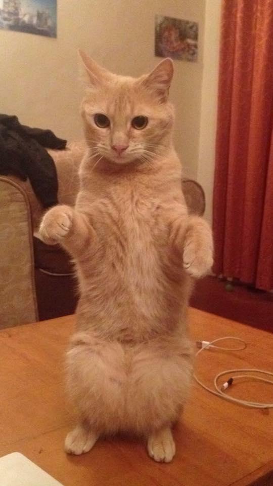Un chaton errant suit un homme chez lui et décide de s'installer, 4 ans plus tard…