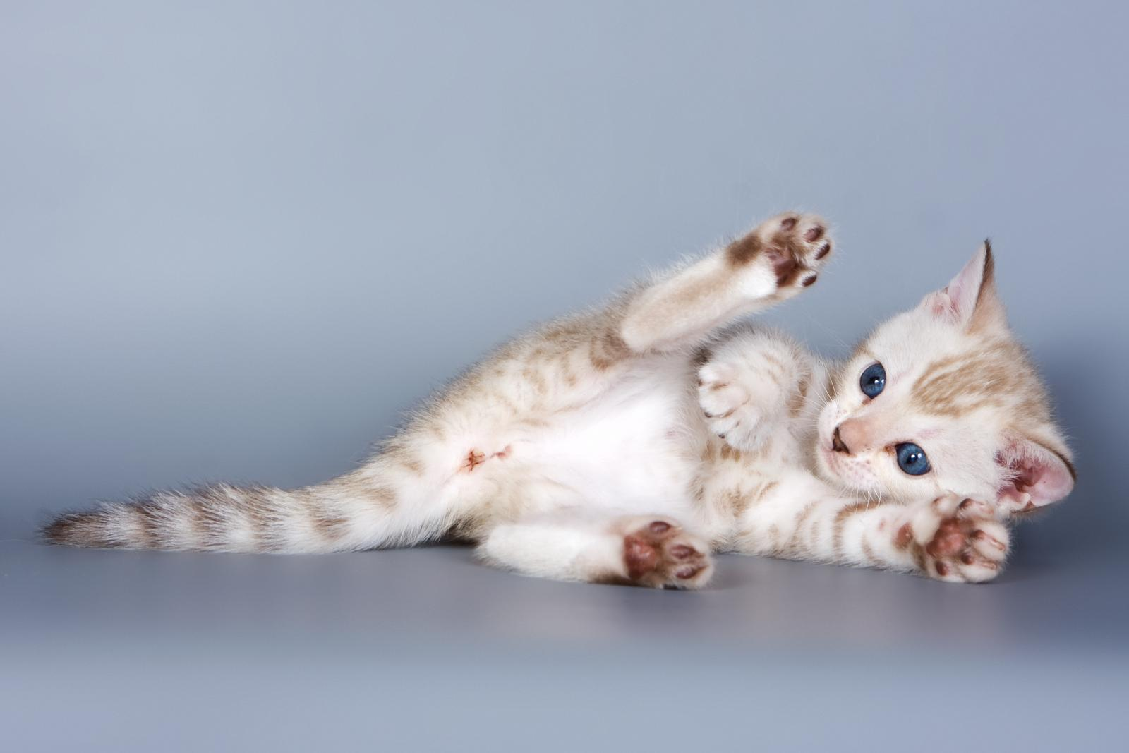 bengal chat blanc