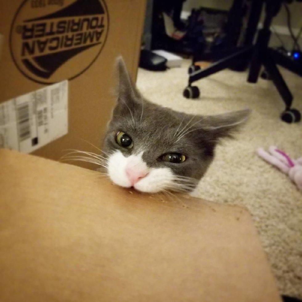 chaton bicolore