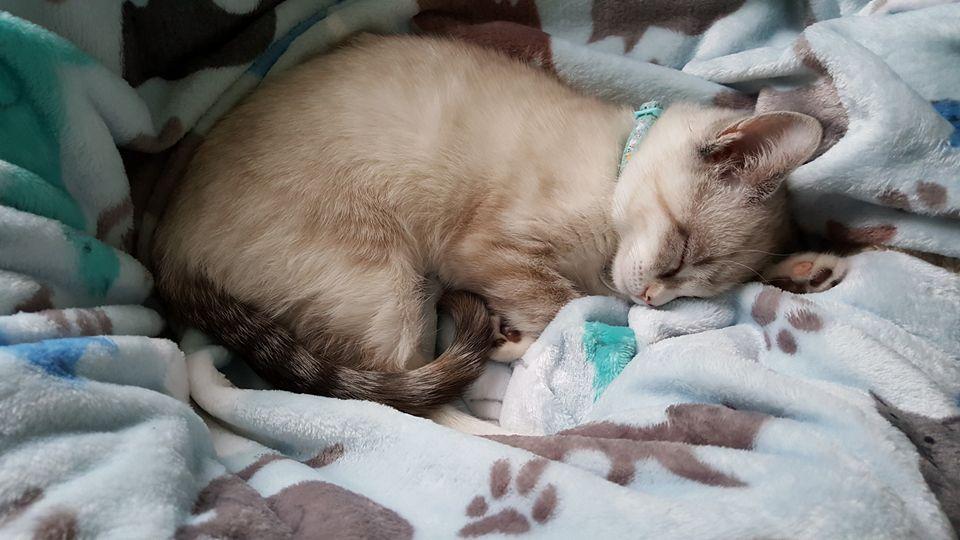 chaton blanc dort