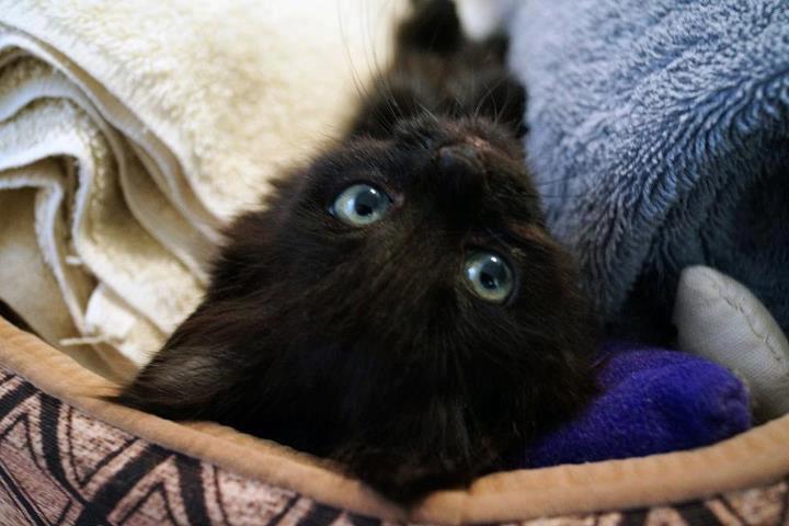 chaton noir joue