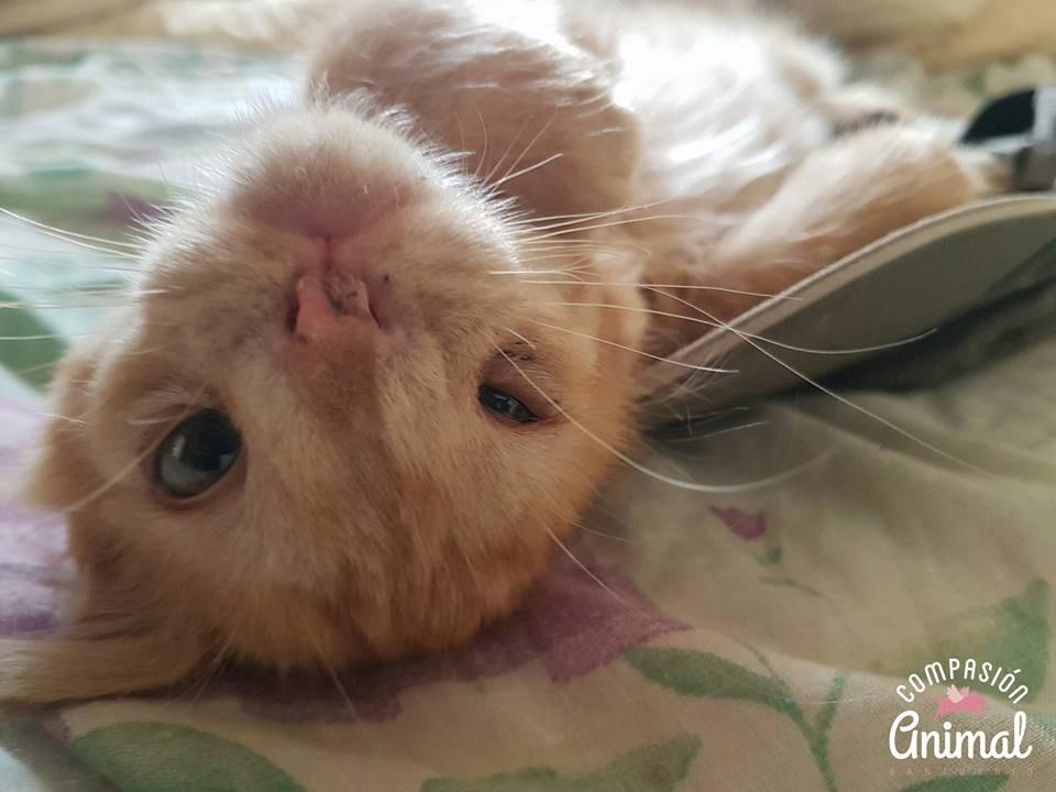 chat roux moche allongé