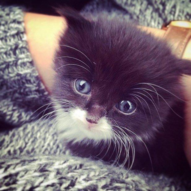 chaton yeux bleus
