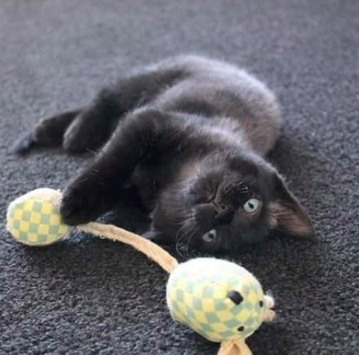 chaton noir joueur