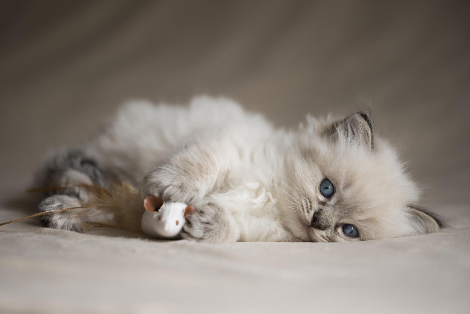 ragdoll-mignon-petit