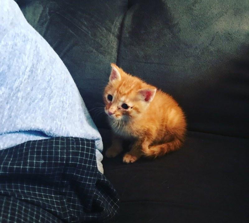 chaton roux canapé