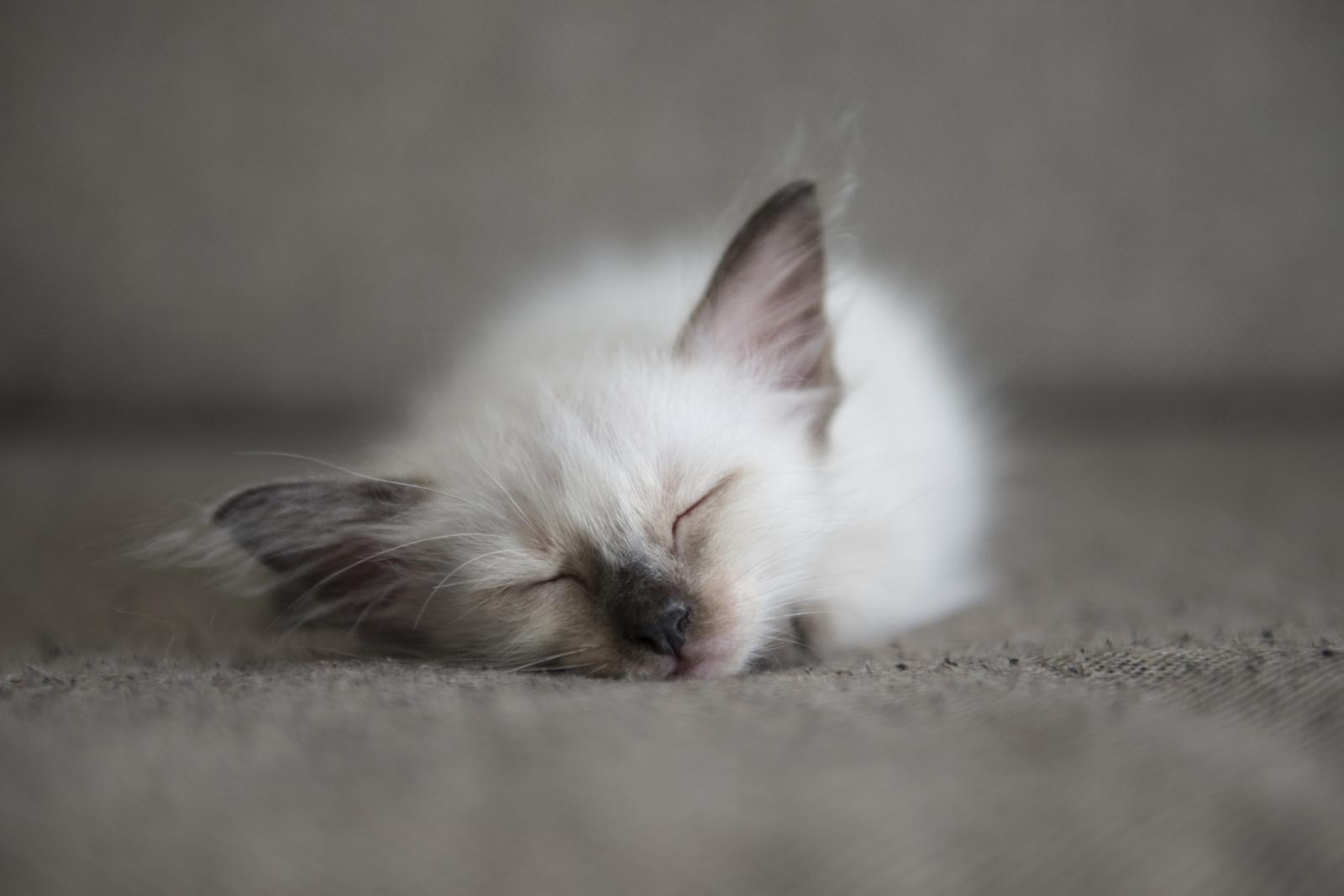 chaton siamois qui dort