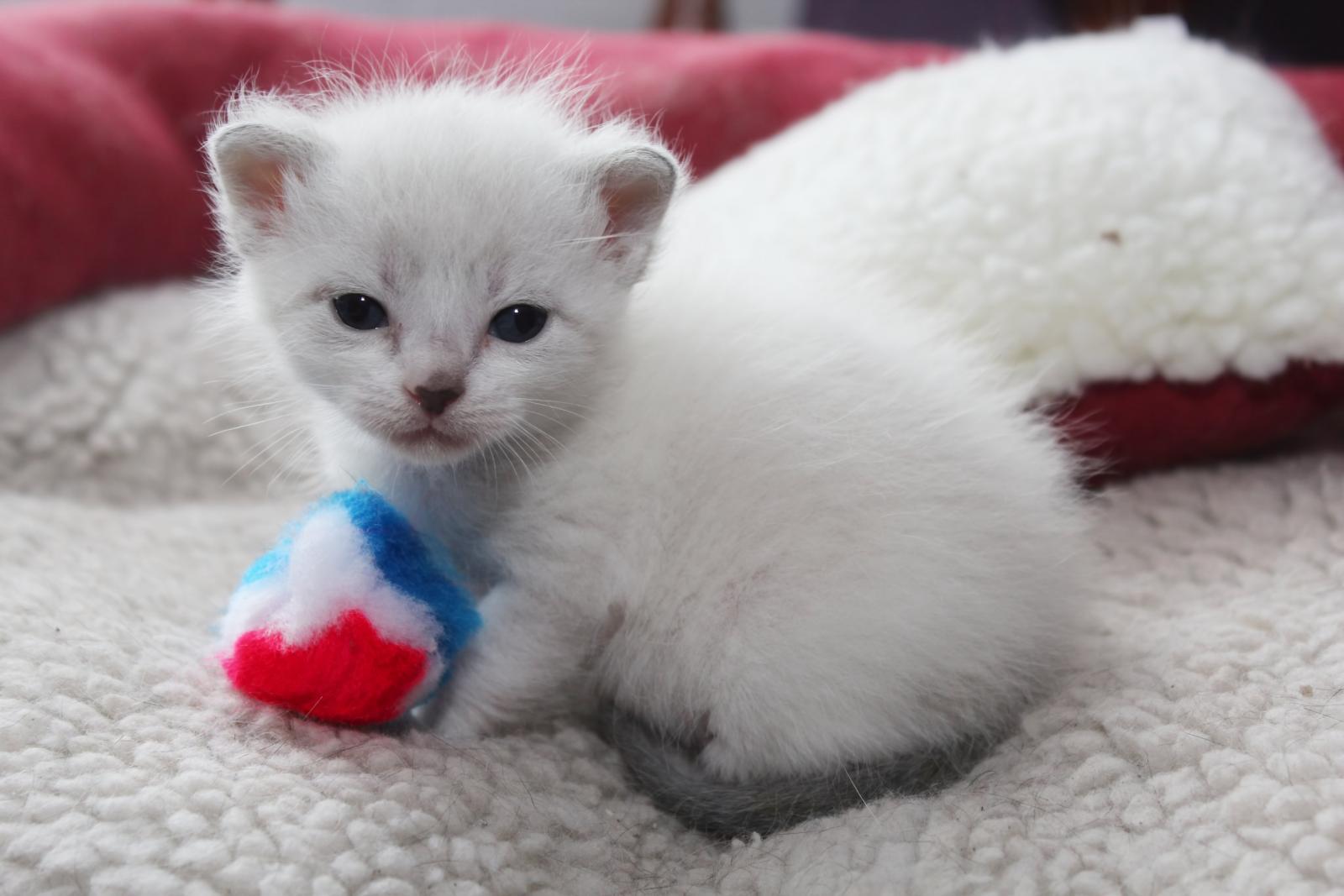 chaton siamois bébé