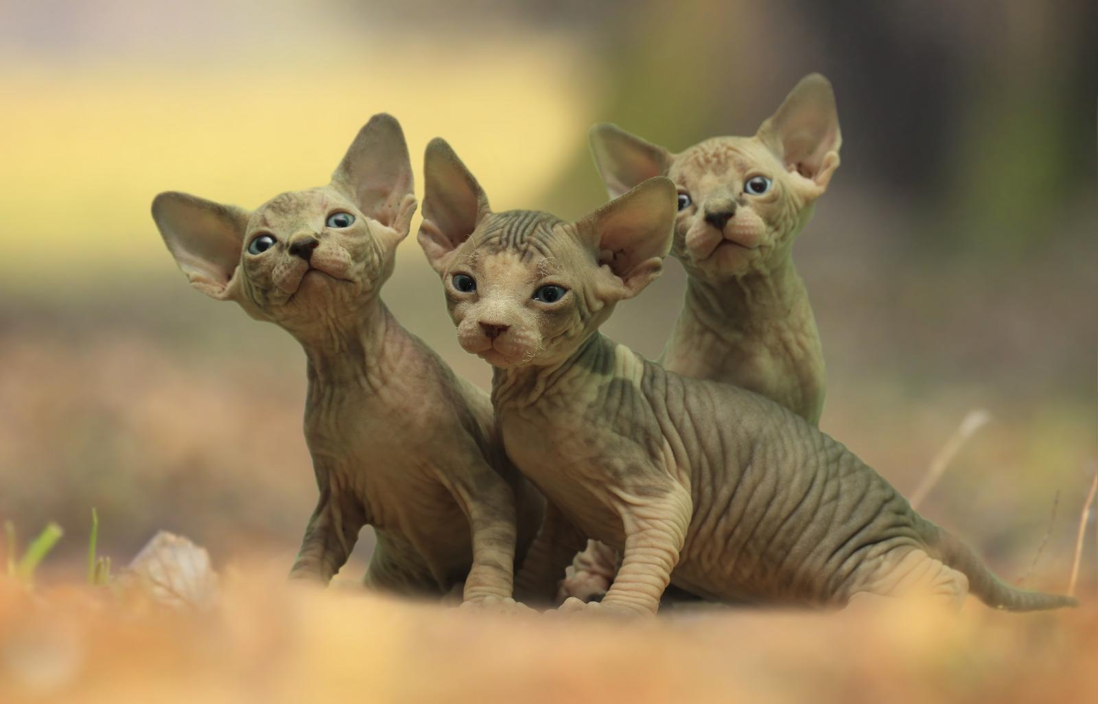 bébés chatons sphynx
