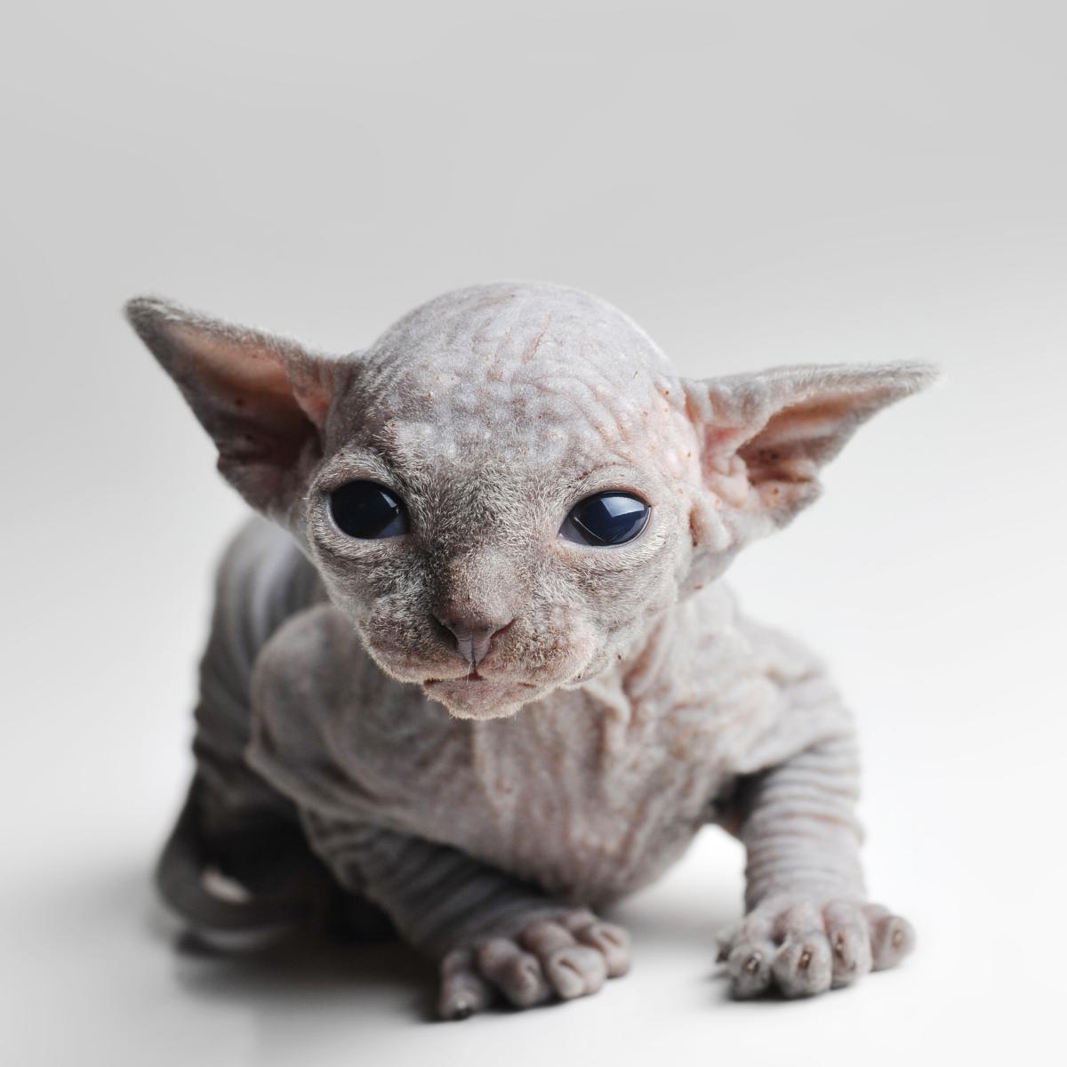 chaton sphynx superbe
