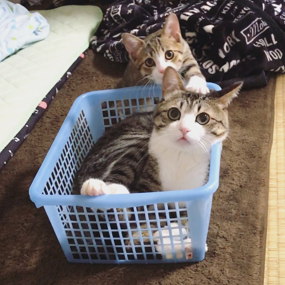 chatons panier