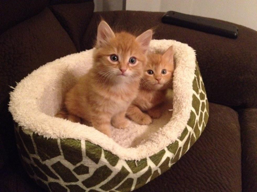 chatons roux panier