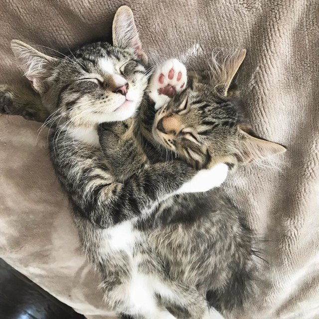 chatons tigrés calins