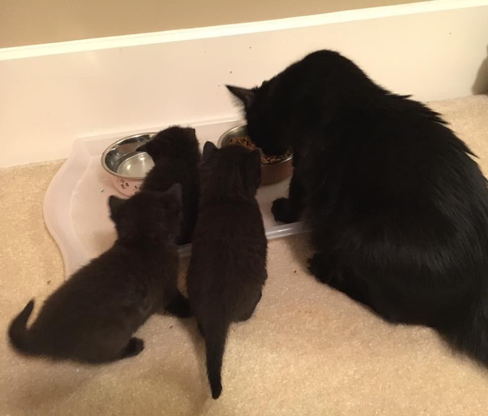 chatons mangent