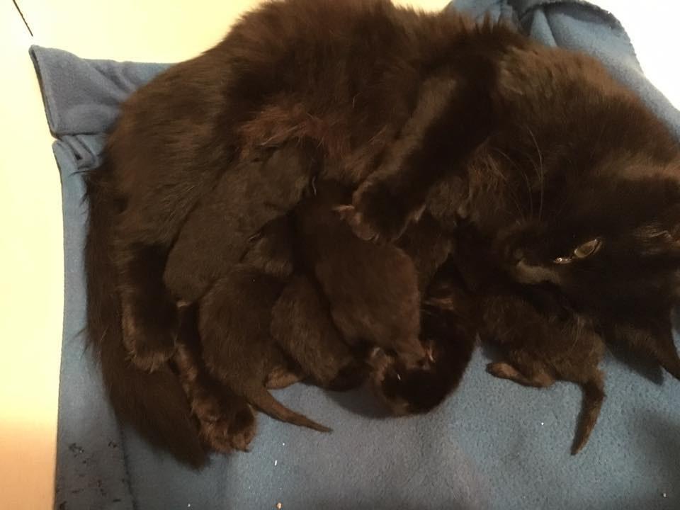 portée de chatons noirs