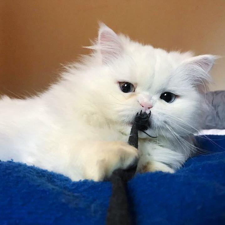 belle chatte persan