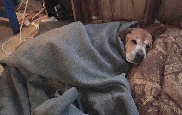 vieux chien canapé