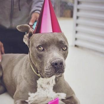 chien staff anniversaire