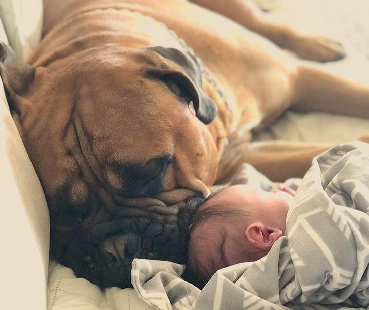 bullmastiff bébé amis