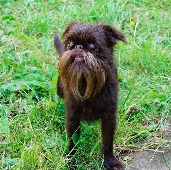 chien barbu