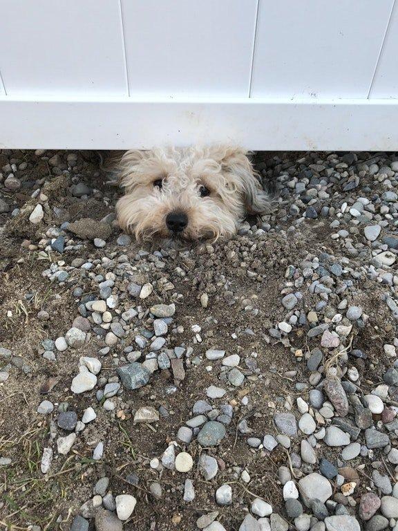 chien clôture