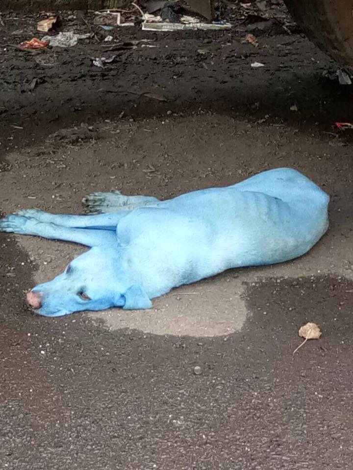 chiens bleus inde