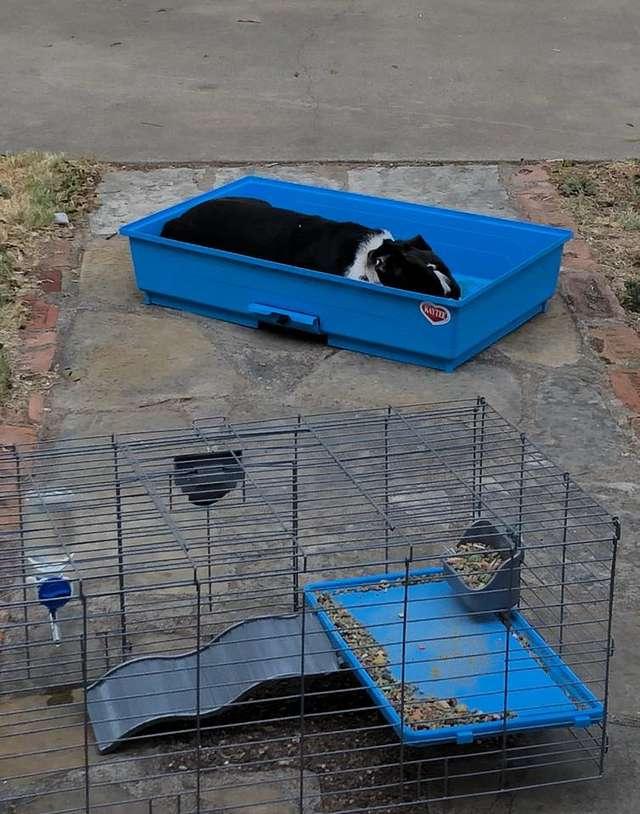 chien cage cochon d'inde