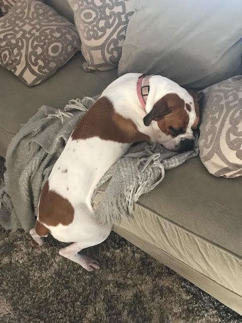 chien boxer canapé
