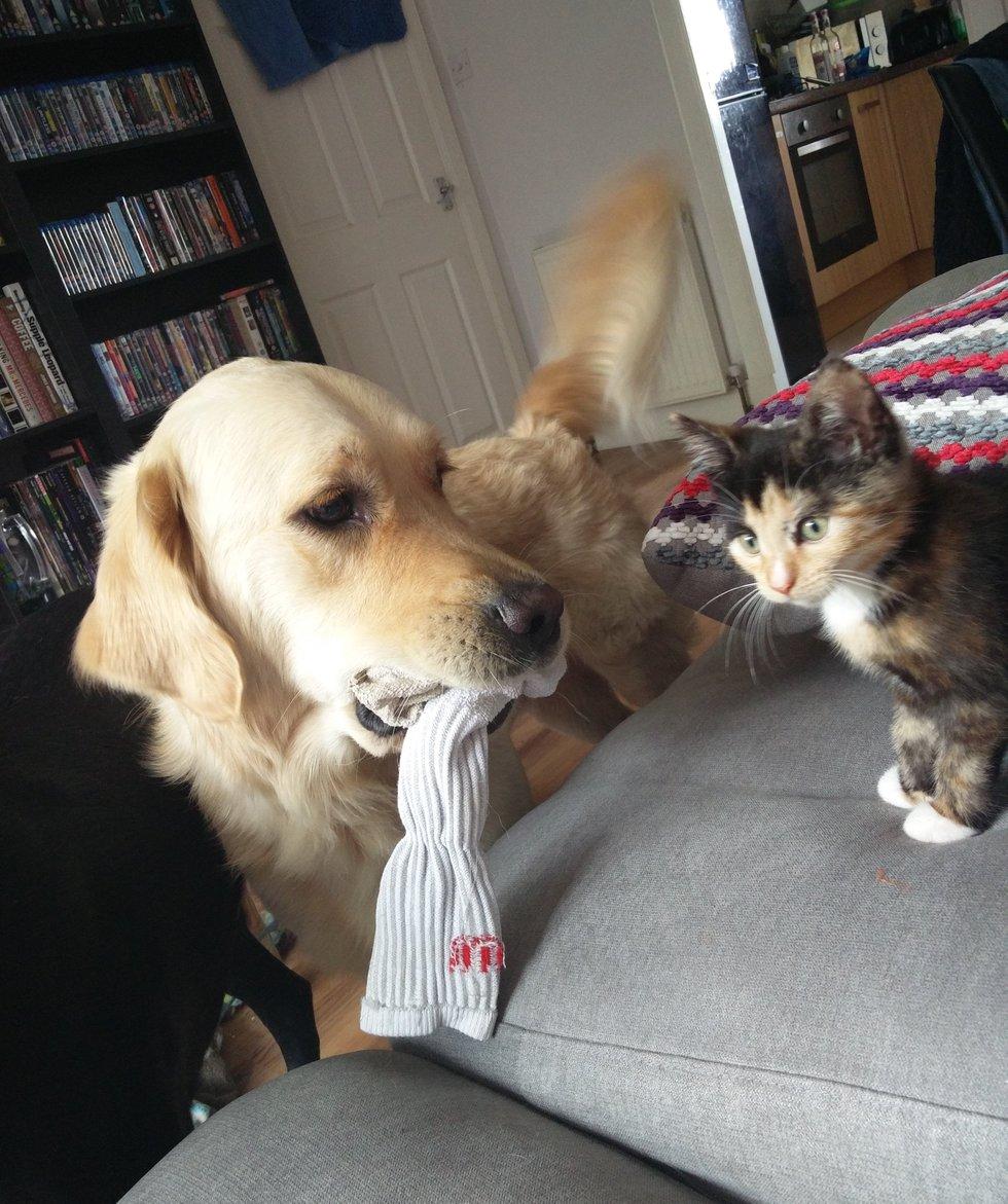 chien golden chat amis