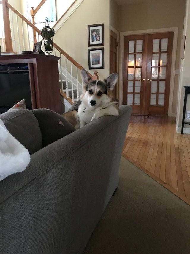 corgi canapé
