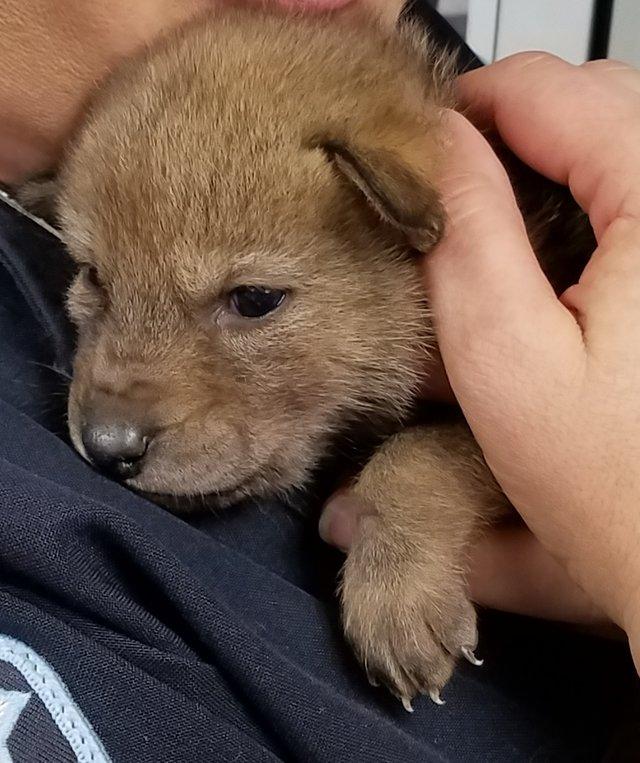 chien coyote