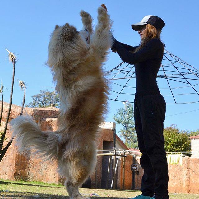 malamute géant chien