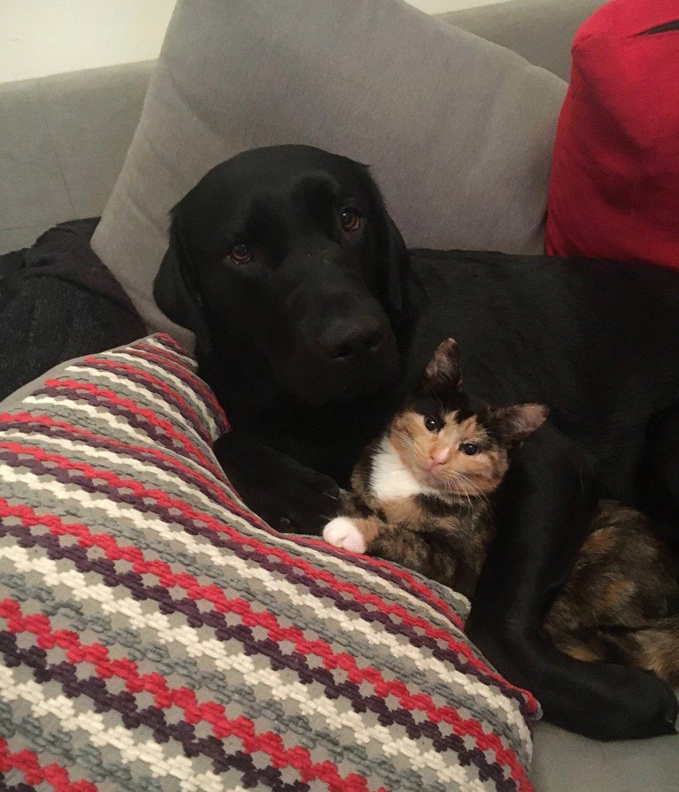 chien labrador copain chat