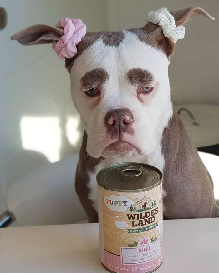 chienne triste bulldog