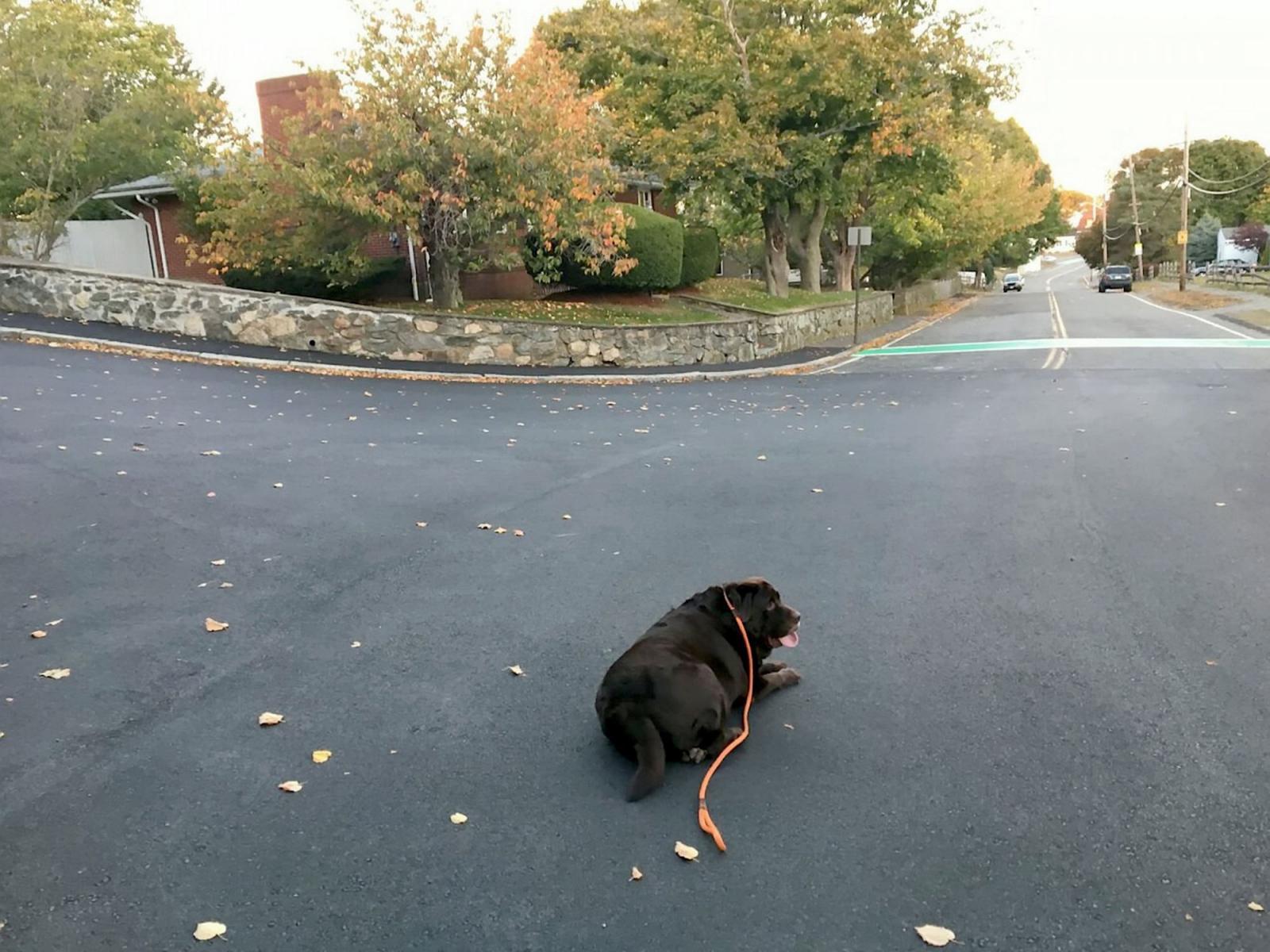chien obese allongé