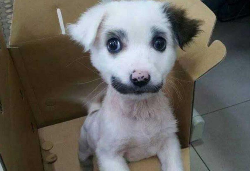 chien moustache